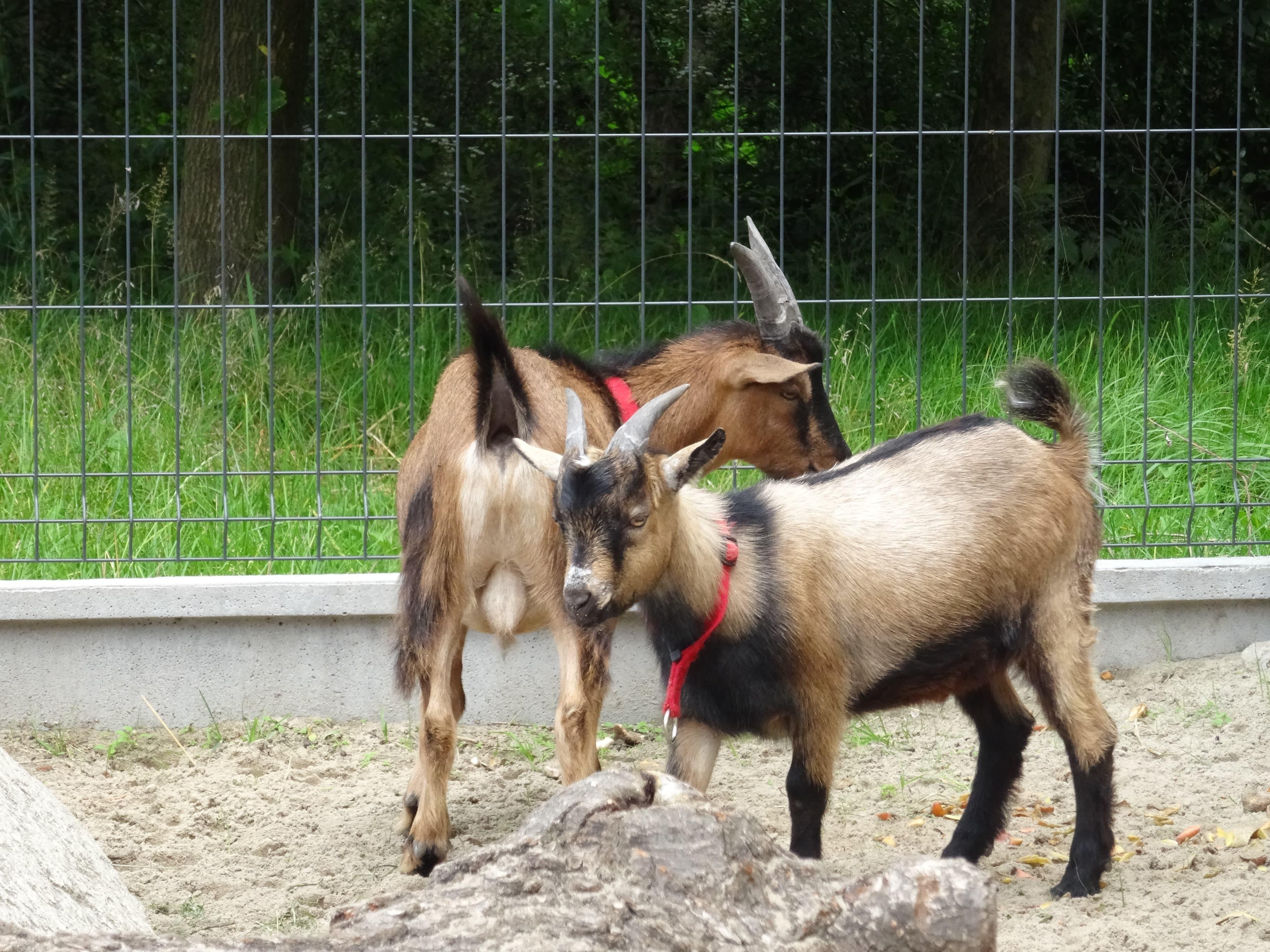 zielona-oliwka-zwierzyniec-kozy