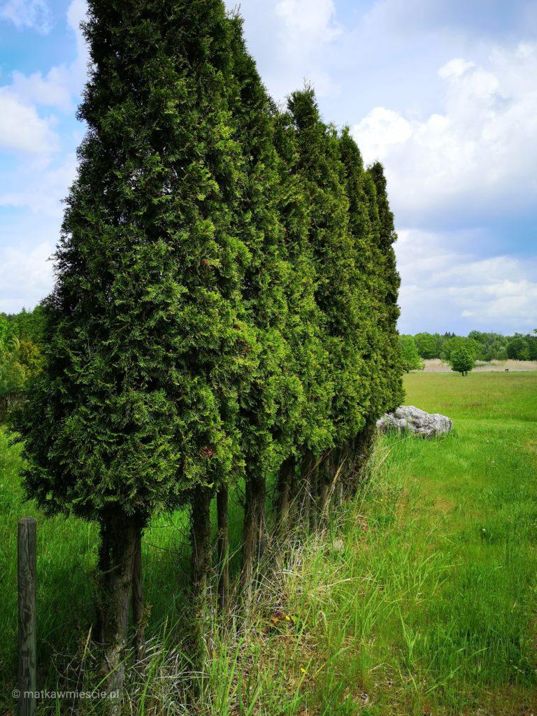 drzewa-jak-w-toskanii
