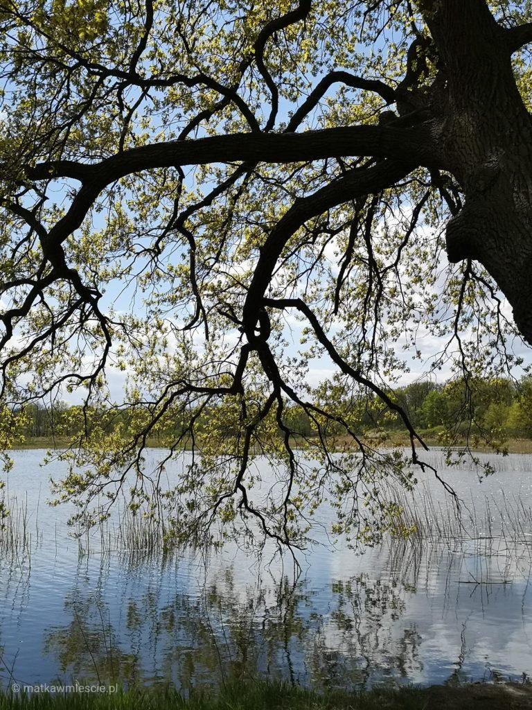 krobielowice-staw-drzewo