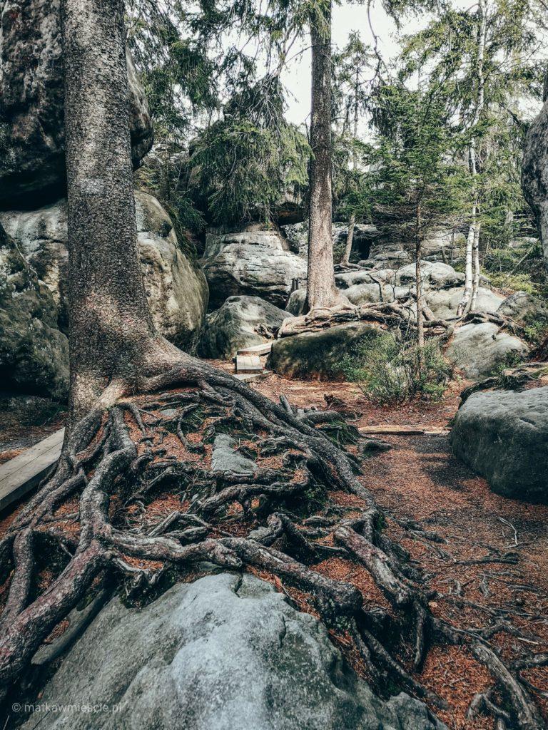 korzenie-drzewa