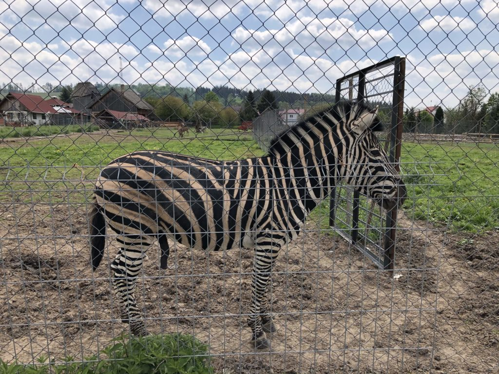 minizoo-zebra