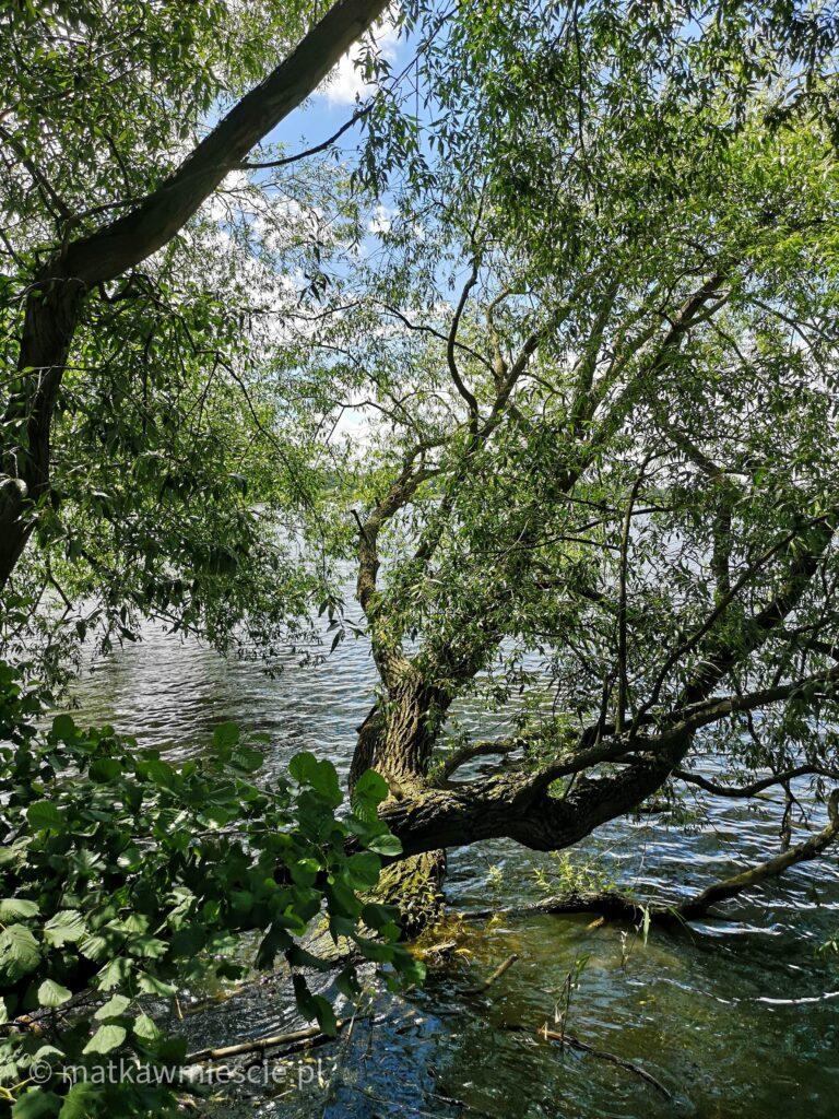 zwalone-drzewo-nad-stawem