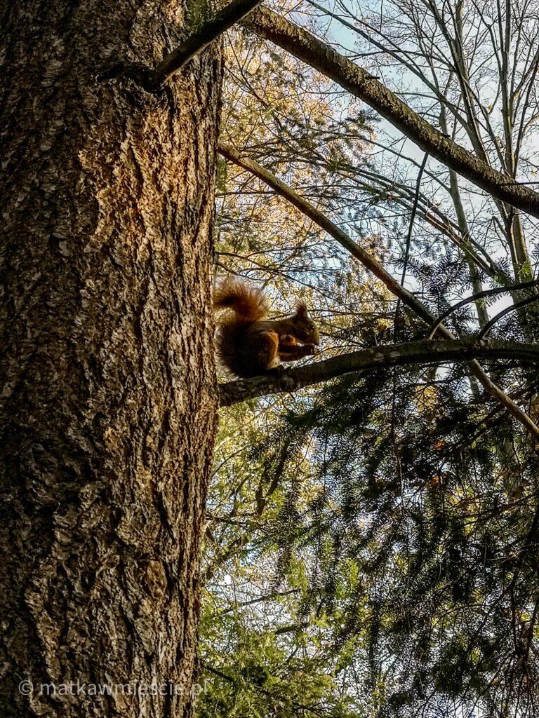 wiewiórka-na-drzewie