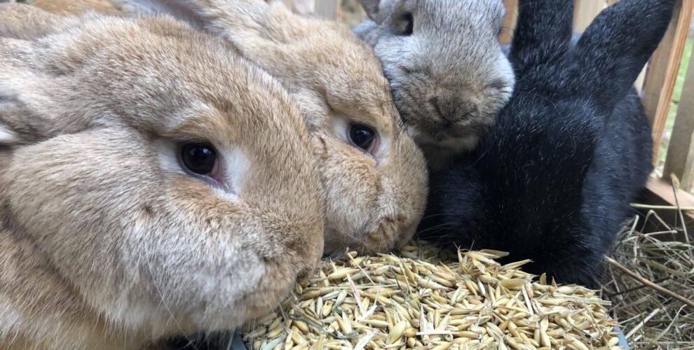 króliki-ranczo-pony-m