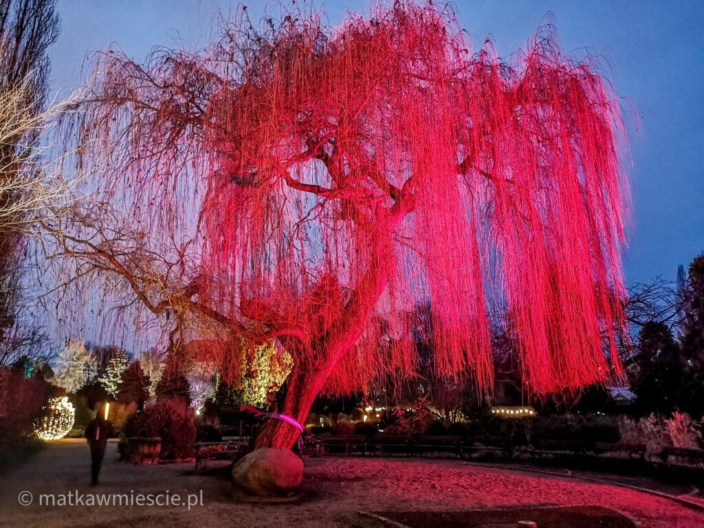 czerwone-drzewo