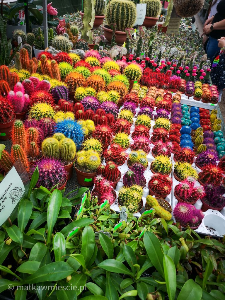 kolorowe-kaktusy