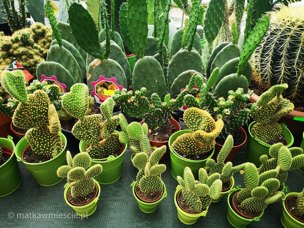 kaktusy-palmiarnia
