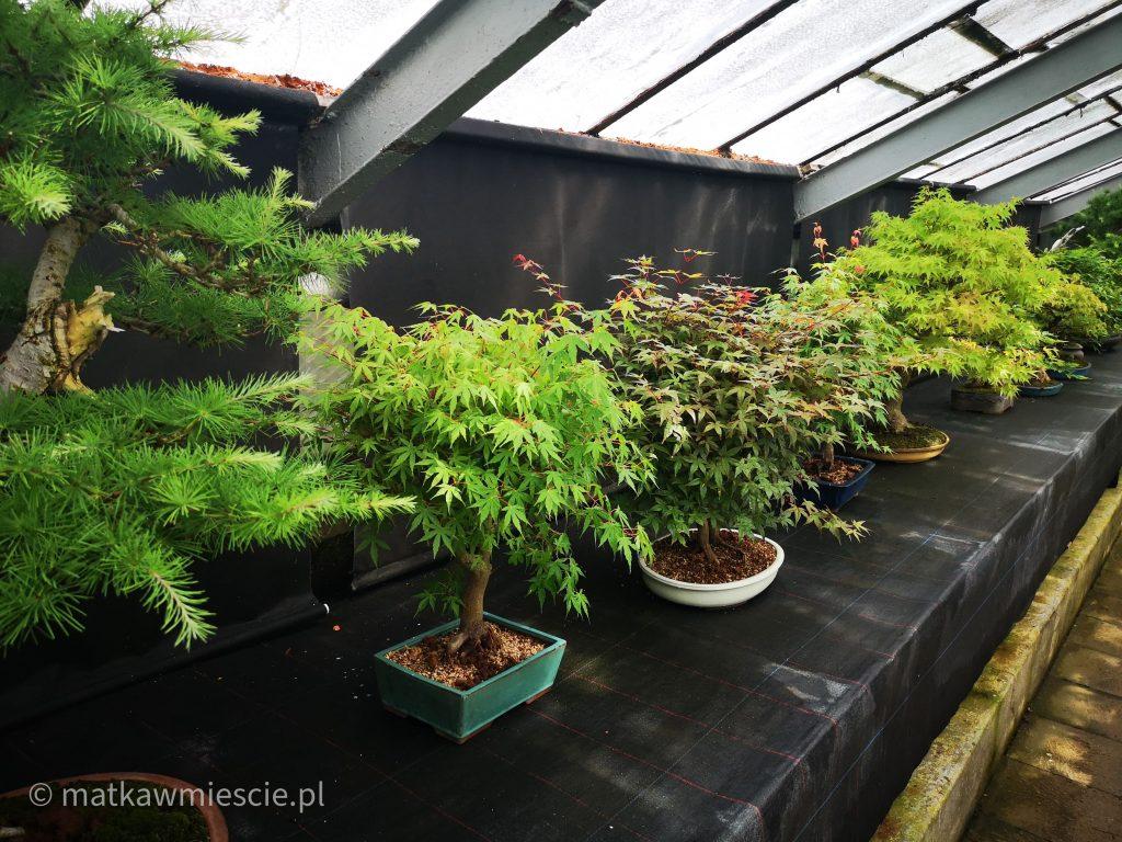 drzewka-bonsai-palmiarnia