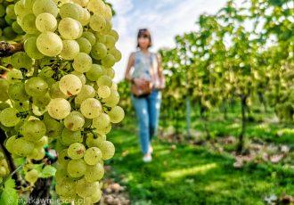 winnica-celtica-winogrona